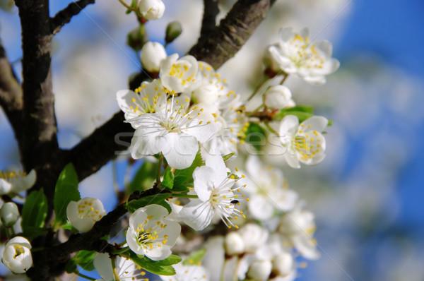 plum blossom 53 Stock photo © LianeM