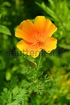 California poppy  Stock photo © LianeM