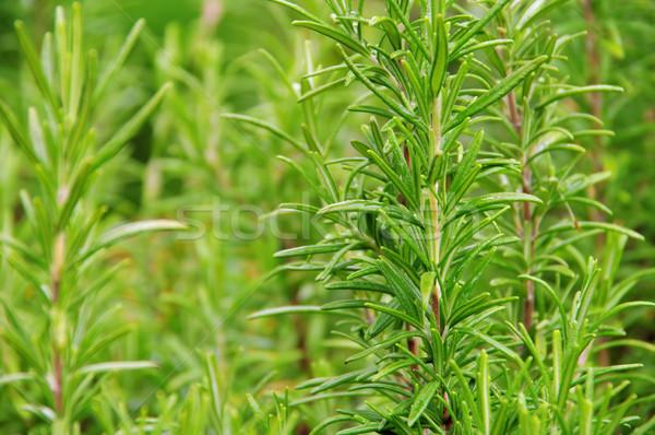 Rosemary 13 Stock photo © LianeM