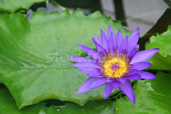 Víz liliom 19 Stock fotó © LianeM