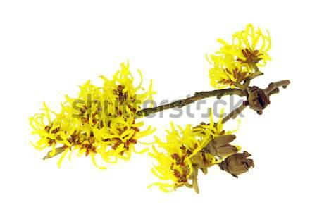 Izolált 13 virág tavasz tél szín Stock fotó © LianeM
