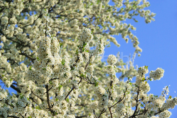 cherry blossom 11 Stock photo © LianeM