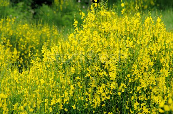метлой 12 цветок весны природы завода Сток-фото © LianeM