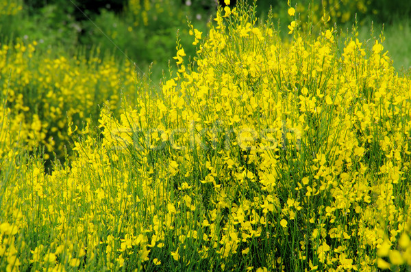 Vassoura 12 flor primavera natureza planta Foto stock © LianeM
