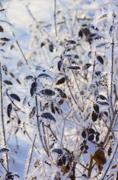 hedge in winter 01 Stock photo © LianeM