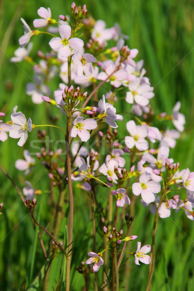 Cuckoo Flower 09 Stock photo © LianeM
