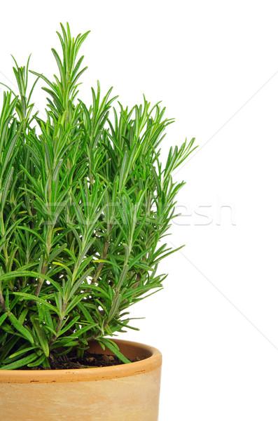 Rosemary isolated 02 Stock photo © LianeM