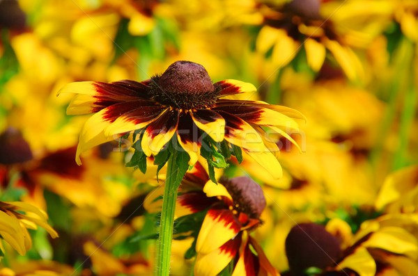 14 bloemen oog natuur zomer oranje Stockfoto © LianeM