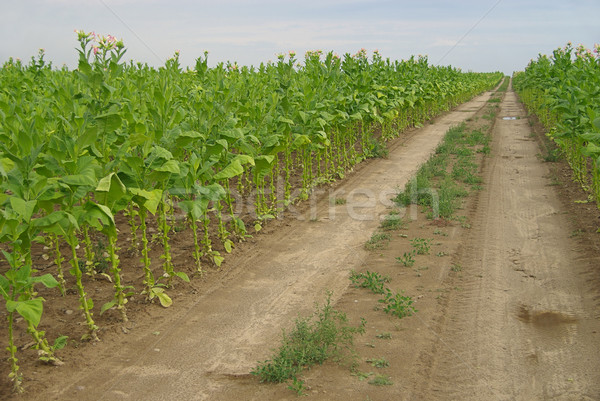 Megművelt dohány levél mező növények út Stock fotó © LianeM