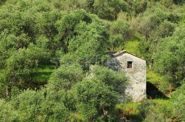 olive grove in Liguria  Stock photo © LianeM