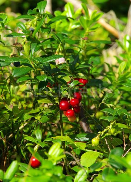 cowberry plant 03 Stock photo © LianeM