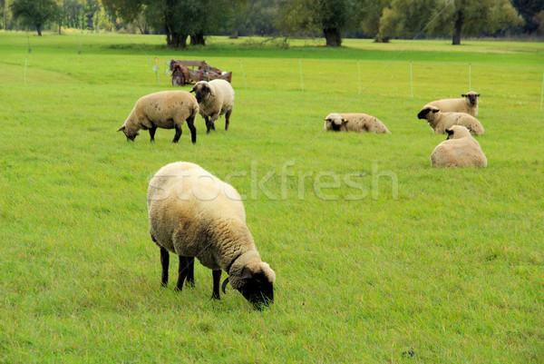 sheep 28 Stock photo © LianeM