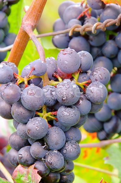 Uva vermelho 26 fruto azul preto Foto stock © LianeM