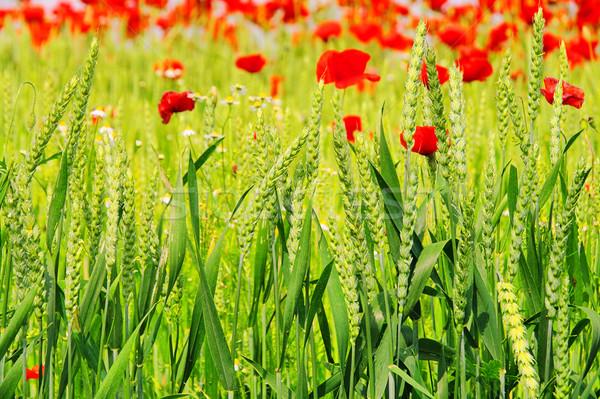 corn poppy in field 04 Stock photo © LianeM