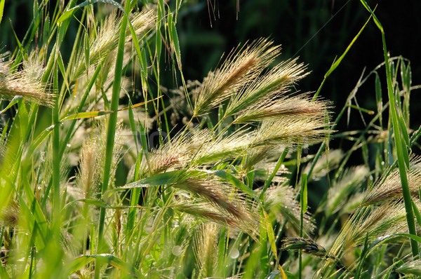 Rogge veld voedsel gras zomer plant Stockfoto © LianeM