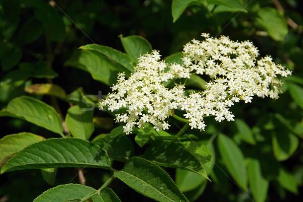 Idősebb 12 virág zöld fehér virág Stock fotó © LianeM
