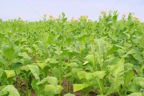 Megművelt dohány 14 levél mező növények Stock fotó © LianeM