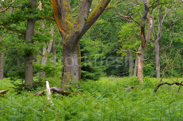 ancient forest of Sababurg Stock photo © LianeM
