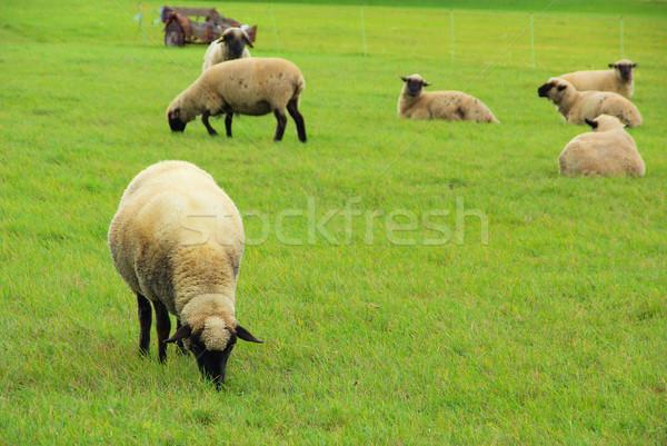 Birka család tavasz mező zöld fehér Stock fotó © LianeM
