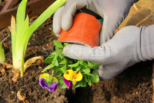 ültet virágok tavasz kéz otthon kő Stock fotó © LianeM