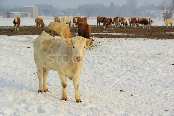 cow 37 Stock photo © LianeM