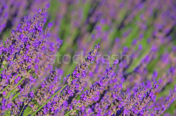 Lavendel - lavender 66 Stock photo © LianeM