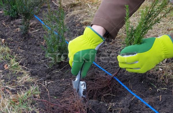 planting a taxus hedge 02 Stock photo © LianeM