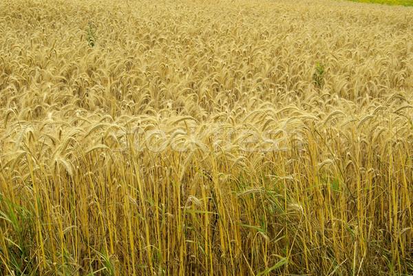 żyto dziedzinie żywności trawy lata roślin Zdjęcia stock © LianeM