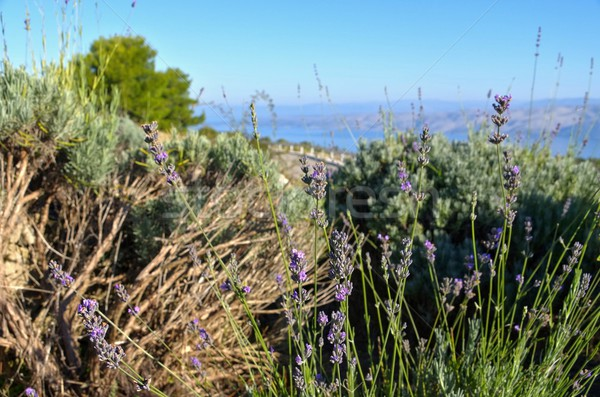 Hvar landscape lavender  Stock photo © LianeM