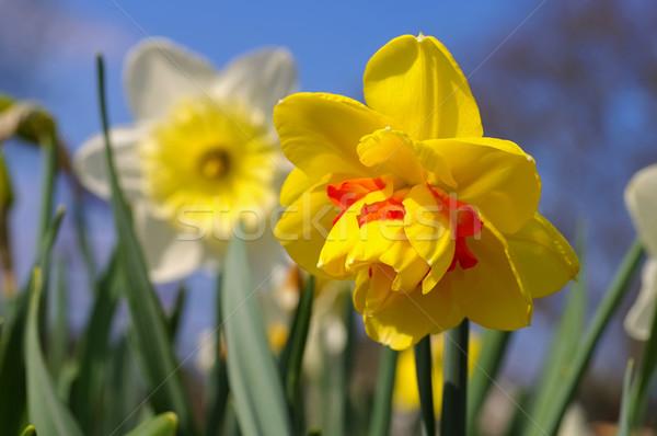 Nergis çiçek tahiti Stok fotoğraf © LianeM