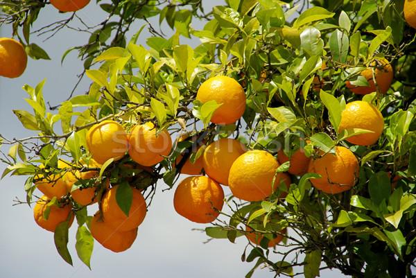 orange fruit on tree 09 Stock photo © LianeM