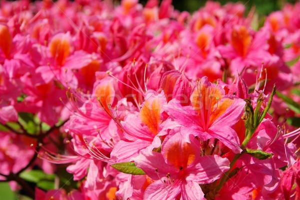 Azalea 24 tuin achtergrond plant roze Stockfoto © LianeM
