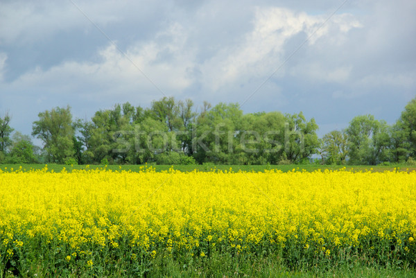 Rapeseed 41 Stock photo © LianeM