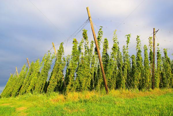 Stockfoto: Hop · veld · zomer · bladeren · najaar · plant