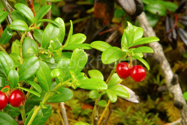 Stock photo: cowberry plant 09