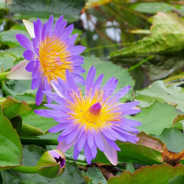 Seerose - water lily 42 Stock photo © LianeM