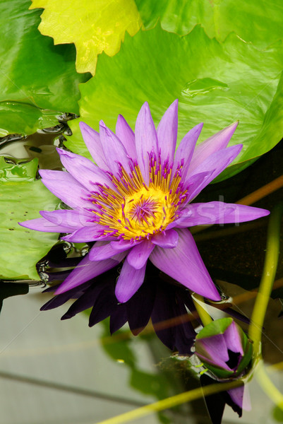 water lily 14 Stock photo © LianeM