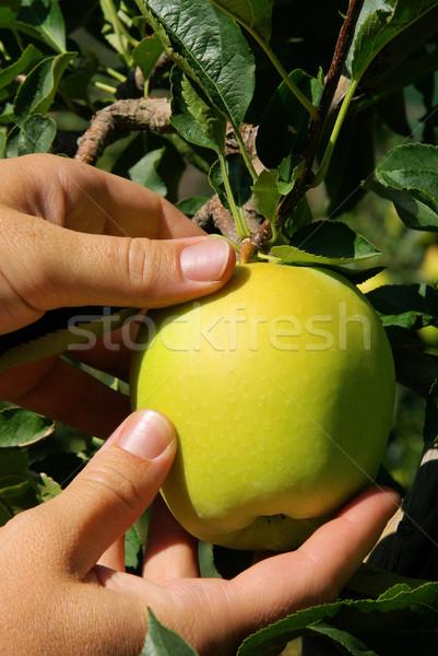 リンゴの木 60 ツリー 食品 葉 庭園 ストックフォト © LianeM