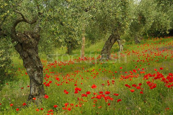 Pipacs olajfa virág fa mező piros Stock fotó © LianeM