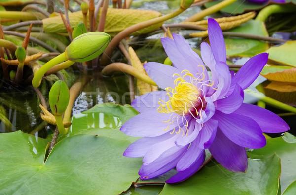 Seerose - water lily 43 Stock photo © LianeM