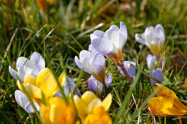 Crocus yellow  Stock photo © LianeM