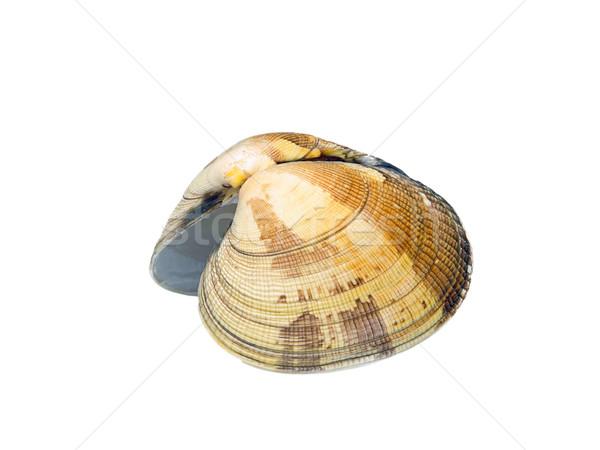 Muschel Schlichte Artemis - shell Dosinia Exoleta 01 Stock photo © LianeM