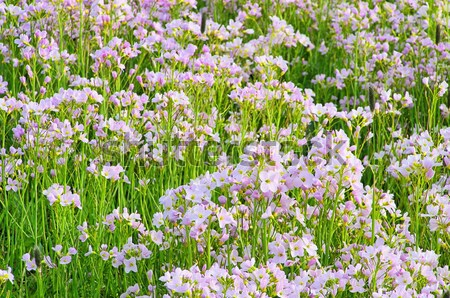 Cuco flor 17 primavera verde Foto stock © LianeM