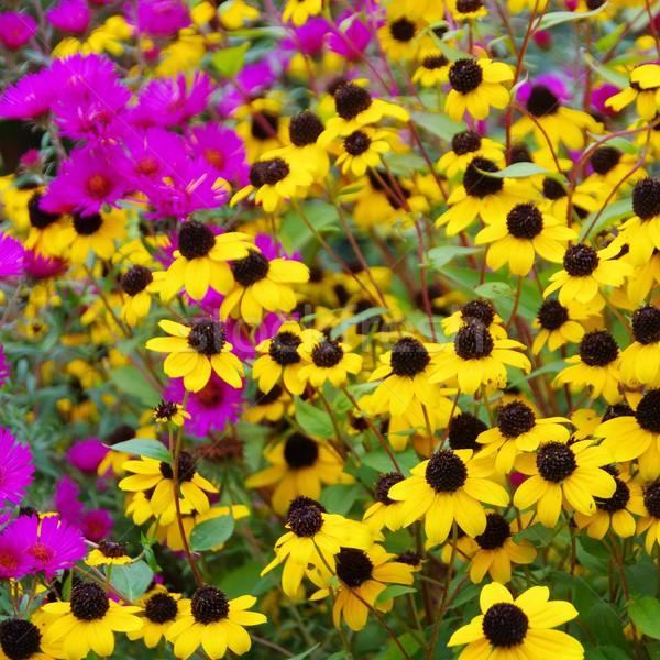 black-eyed Susan and aster Stock photo © LianeM