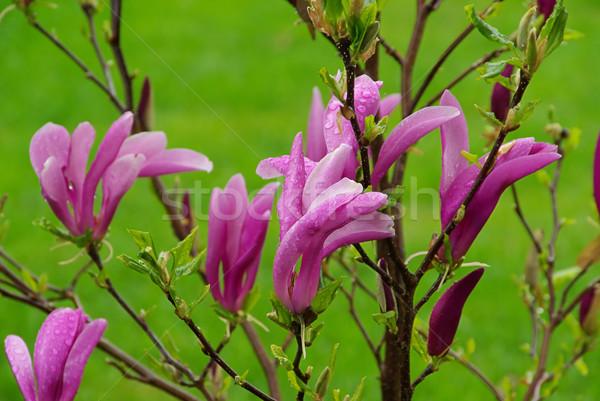 Foto stock: Magnólia · primavera · verde · parque · branco · ramo