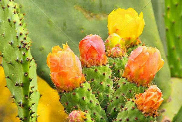opuntia 15 Stock photo © LianeM