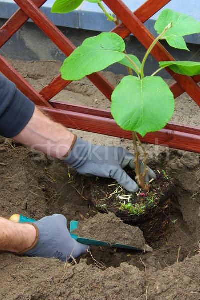 planting a kiwi plant 03 Stock photo © LianeM