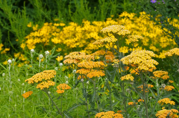 Fernleaf Yarrow in garden Stock photo © LianeM