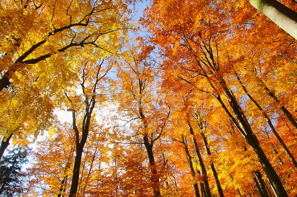 beech forest in fall 31 Stock photo © LianeM