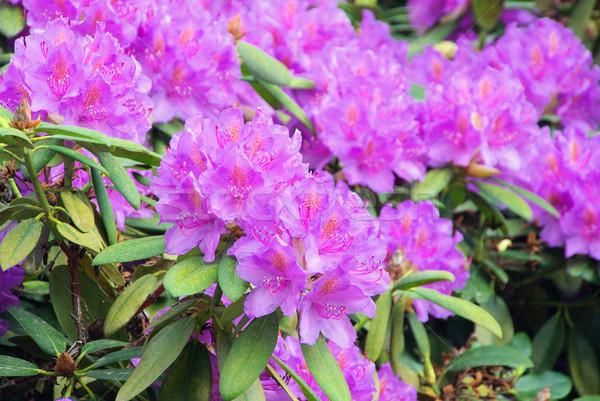 19 çiçek doğa arka plan yeşil yaprakları Stok fotoğraf © LianeM